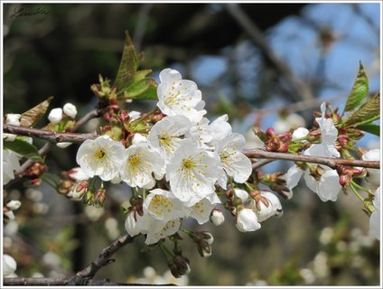 FOTKA - Třešňové květy
