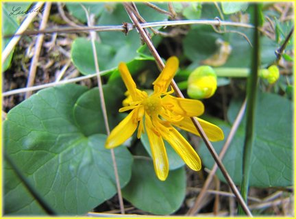 FOTKA - Žlutá jarní květinka