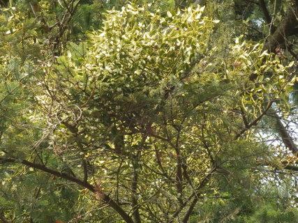 FOTKA - bližší pohled do koruny stromu z minulé fotky - jmelí
