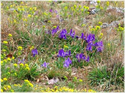 FOTKA - Jarní květiny na Svatém kopečku