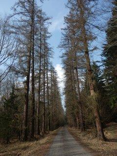 FOTKA - cesta na Knížecí studánky je lemována mohutnými modříny (Brdy)