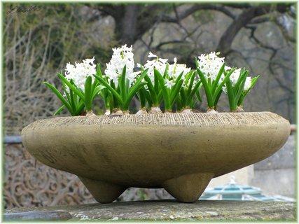 FOTKA - Květináč s hyacinty