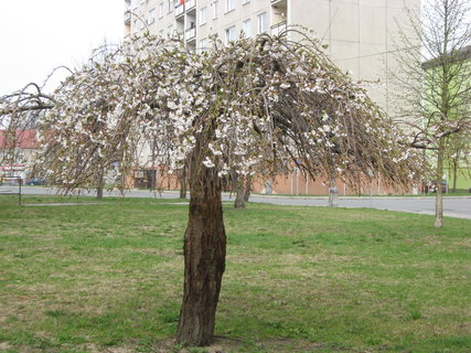 FOTKA - Ozdobný stromek na sídlišti