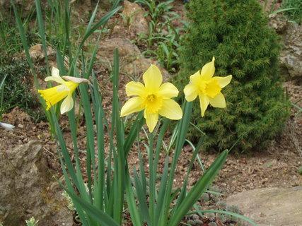 FOTKA - Narcisy  6