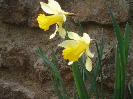 FOTKA - Narcisy  7
