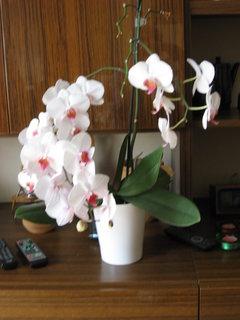 FOTKA - Bílá Alčina orchidej