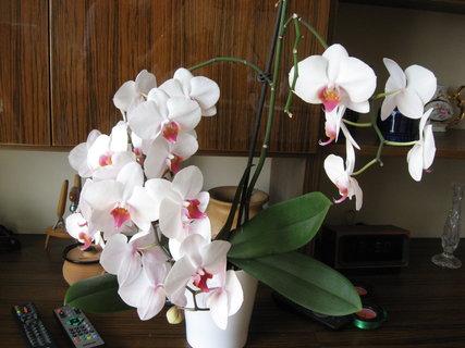 FOTKA - Bílá Alčina orchidej..