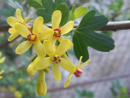 FOTKA - Květy meruzalky
