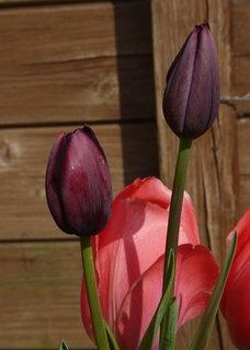 FOTKA - tmave tulipanky