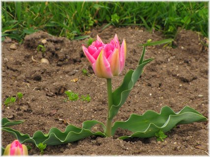 FOTKA - Tulip�n s vlnit�mi okraji list�