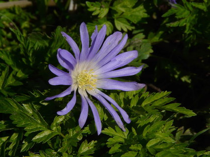 FOTKA - modra sasanka