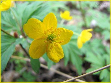 FOTKA - Žlutý jarní květ