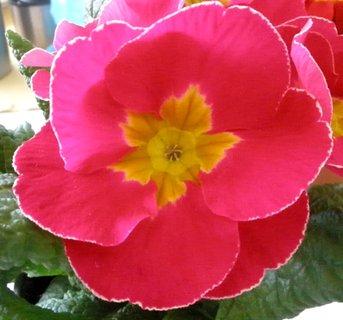 FOTKA - Květ růžové primulky