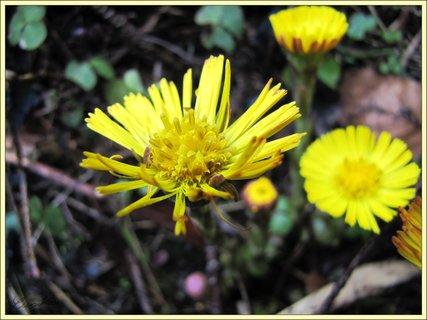 FOTKA - Žlutý podběl