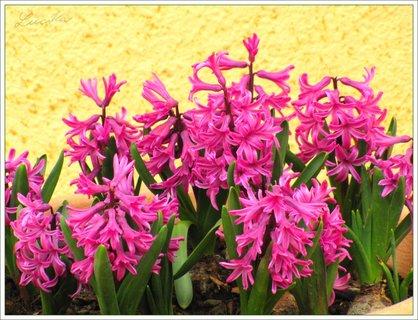 FOTKA - Růžovofialové hyacinty