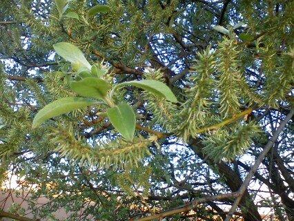 FOTKA - probouzející se strom