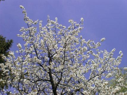 FOTKA - Třešeň krásně kvetoucí
