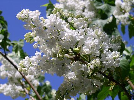 FOTKA - Jarní šeříková