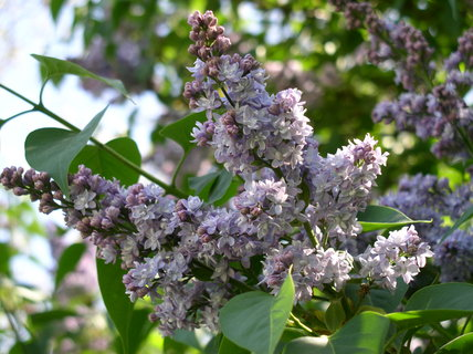 FOTKA - Fialový šeřík v květu