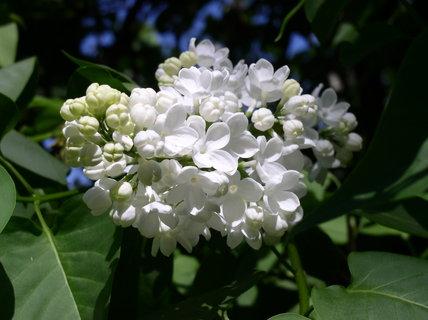 FOTKA - Bílý šeřík v květu