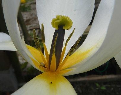 FOTKA - pidimuska v kvetu tulipanu