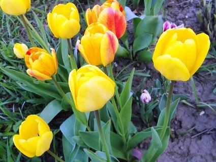 FOTKA - 27.4.na zahradě tulipánky