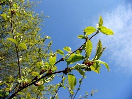FOTKA - větvička střemchy