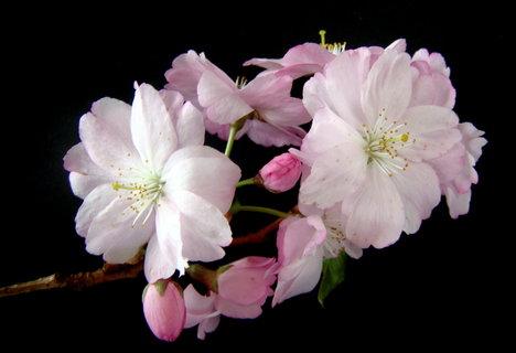 FOTKA - květy sakury