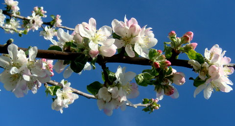 FOTKA - Kvetoucí jabloň
