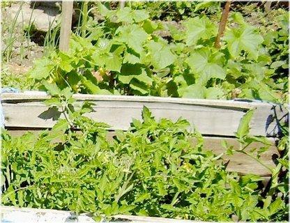 FOTKA - okurky nakládačky a rajčata vloni