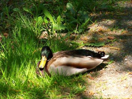 FOTKA - nebojácný kačer v parku