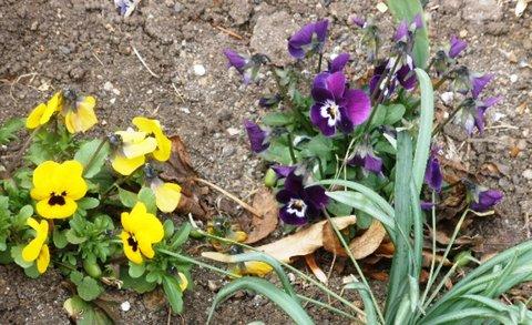 FOTKA - Žluté a fialové macešky