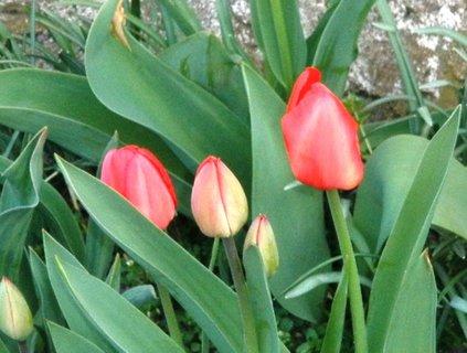 FOTKA - Červené tulipánky