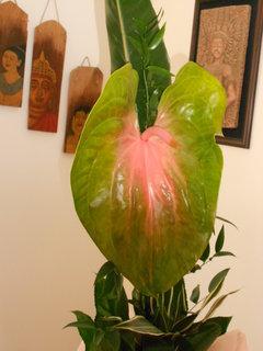 FOTKA - květ anturky dlouhý 41 cm