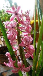 FOTKA - +Růžový hyacint