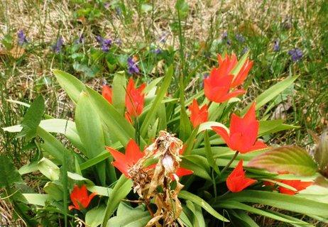 FOTKA - Tulipánky za plotem