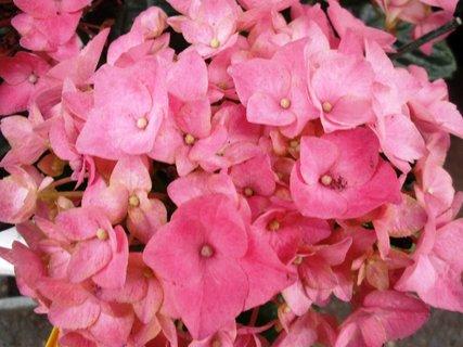 FOTKA - +Růžová hortenzie