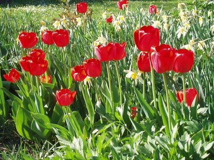 FOTKA - Tulip�ny �erven� . .