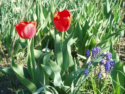 FOTKA - Tulipány červené . ..