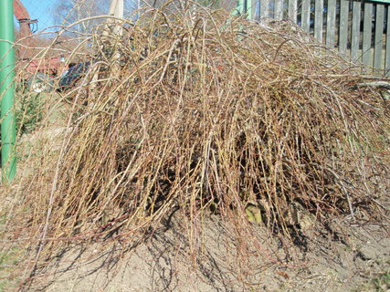 FOTKA - Salix repens (vrba plazivá) 25.3. začínala rašit