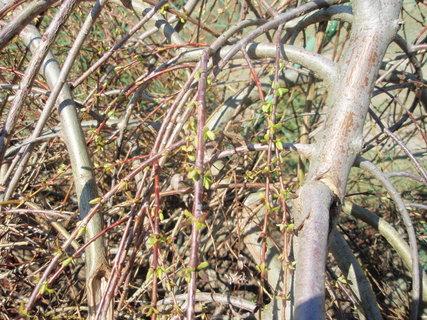 FOTKA - Salix repens, 25.3., detail rašících větviček