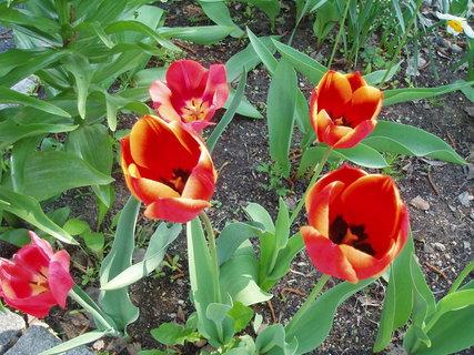 FOTKA - Tulipány -1