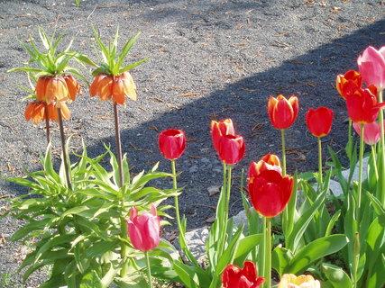 FOTKA - Tulipány -2