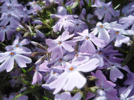 FOTKA - Phlox subulata, detail květů