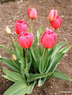 FOTKA - Růžové tulipány