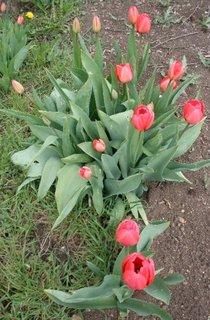 FOTKA - Tulipány červené