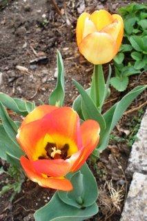 FOTKA - Pěkně zbarvené tulipány