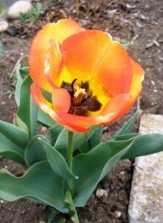 FOTKA - Barevný tulipán