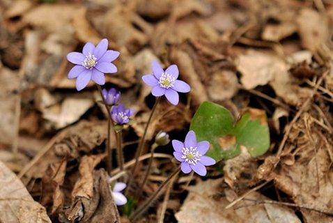 FOTKA - *Hepatica nobilis