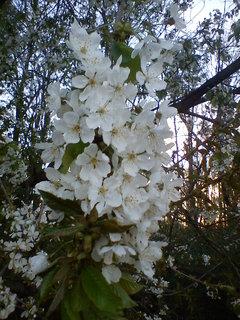 FOTKA - květy jabloně